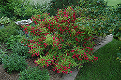 Red Prince Weigela (Weigela florida 'Red Prince') at Arrowhead Nurseries Ltd.