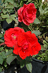 Morden Fireglow Rose (Rosa 'Morden Fireglow') at Green Haven Garden Centre