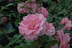 John Davis Rose (Rosa 'John Davis') at Green Haven Garden Centre