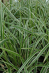 Ice Dance Sedge (Carex morrowii 'Ice Dance') at Bartlett's Farm