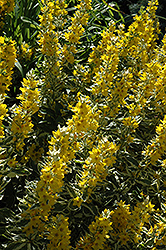 Golden Alexander Loosestrife (Lysimachia punctata 'Golden Alexander') at Flagg's Garden Center