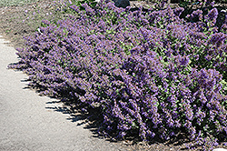 Walker's Low Catmint (Nepeta x faassenii 'Walker's Low') at The Mustard Seed