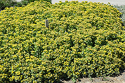Golden Carpet Stonecrop (Sedum kamtschaticum 'Golden Carpet') at Bartlett's Farm