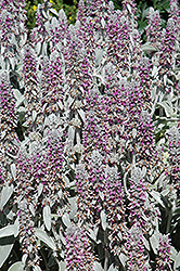 Lamb's Ears (Stachys byzantina) at The Mustard Seed