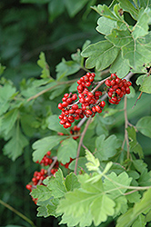 Fragrant Sumac (Rhus aromatica) at Bachman's Landscaping