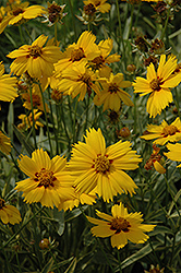 Tequila Sunrise Tickseed (Coreopsis 'Tequila Sunrise') at Bartlett's Farm