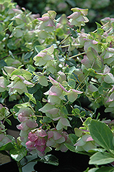 Kent Beauty Oregano (Origanum rotundifolium 'Kent Beauty') at Flagg's Garden Center