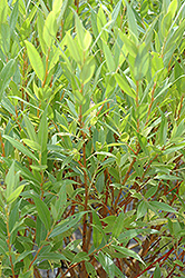 Flame Willow (Salix 'Flame') at The Mustard Seed