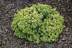 Golden Nugget Japanese Barberry (Berberis thunbergii 'Golden Nugget') at The Mustard Seed