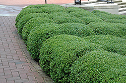 Chicagoland Green Boxwood (Buxus 'Glencoe') at The Mustard Seed