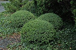 Northern Charm Boxwood (Buxus 'Wilson') at A Very Successful Garden Center