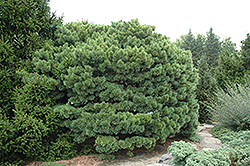 Scotch Dwarf Blue Pompon (Pinus sylvestris 'Glauca Nana') at Bachman's Landscaping