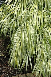 Golden Variegated Hakone Grass (Hakonechloa macra 'Aureola') at Bartlett's Farm