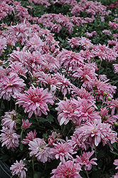 Prairie Lavender Chrysanthemum (Chrysanthemum 'Prairie Lavender') at Canadale Nurseries