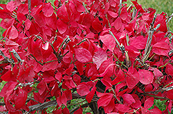 Compact Winged Burning Bush (Euonymus alatus 'Compactus') at The Mustard Seed