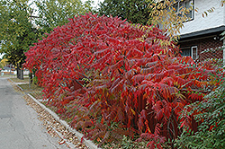 Staghorn Sumac (Rhus typhina) at Bartlett's Farm