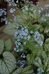 Jack Frost Bugloss (Brunnera macrophylla 'Jack Frost') at The Mustard Seed