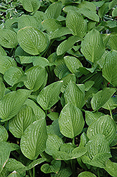 Royal Standard Hosta (Hosta 'Royal Standard') at Bartlett's Farm