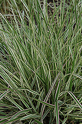 Variegated Reed Grass (Calamagrostis x acutiflora 'Overdam') at Green Haven Garden Centre