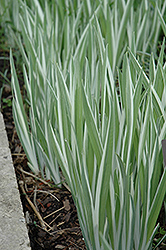 Variegated Japanese Flag Iris (Iris ensata 'Variegata') at The Mustard Seed