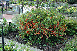 Japanese Flowering Quince (Chaenomeles japonica) at A Very Successful Garden Center