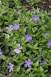 Common Periwinkle (Vinca minor) at Bartlett's Farm