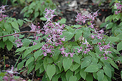 Lilafee Bishop's Hat (Epimedium grandiflorum 'Lilafee') at Bartlett's Farm