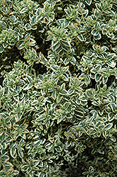 Variegated Boxwood (Buxus sempervirens 'Variegata') at Bartlett's Farm