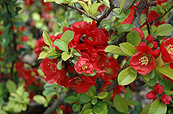 Minerva Flowering Quince (Chaenomeles x clarkiana 'Minerva') at A Very Successful Garden Center
