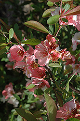 Toyo-Nishiki Flowering Quince (Chaenomeles speciosa 'Toyo-Nishiki') at A Very Successful Garden Center
