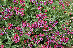 Raspberry Splash Lungwort (Pulmonaria 'Raspberry Splash') at The Mustard Seed