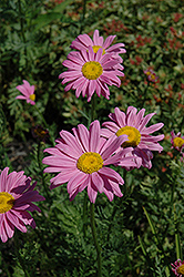 Robinson's Pink Painted Daisy (Tanacetum coccineum 'Robinson's Pink') at The Mustard Seed