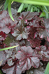 Midnight Rose Coral Bells (Heuchera 'Midnight Rose') at The Mustard Seed