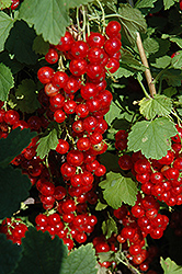 Red Lake Red Currant (Ribes sativum 'Red Lake') at Dundee Nursery
