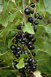 Ben Nevis Black Currant (Ribes nigrum 'Ben Nevis') at Arrowhead Nurseries Ltd.