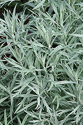 Siver Queen Artemesia (Artemisia ludoviciana 'Silver Queen') at Flagg's Garden Center