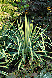 Golden Sword Adam's Needle (Yucca filamentosa 'Golden Sword') at The Mustard Seed