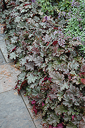 Stormy Seas Coral Bells (Heuchera 'Stormy Seas') at The Mustard Seed