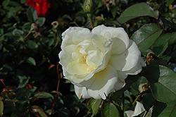 Macy's Pride™ Rose (Rosa 'BAIcream') at Bartlett's Farm