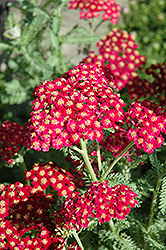 Red Velvet Yarrow (Achillea millefolium 'Red Velvet') at Flagg's Garden Center