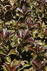 Dark Horse Weigela (Weigela florida 'Dark Horse') at The Mustard Seed