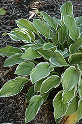 So Sweet Hosta (Hosta 'So Sweet') at The Mustard Seed
