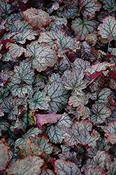 Raspberry Ice Coral Bells (Heuchera 'Raspberry Ice') at Bartlett's Farm