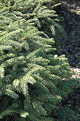 Elegans Spruce (Picea abies 'Elegans') at The Mustard Seed
