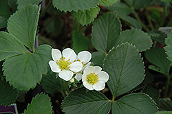 Allstar Strawberry (Fragaria 'Allstar') at Bartlett's Farm