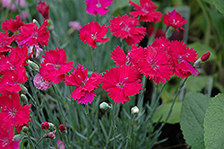 Neon Star Pinks (Dianthus 'Neon Star') at Dundee Nursery