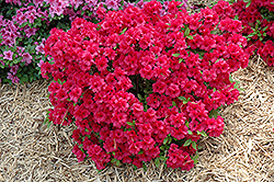 Hershey's Red Azalea (Rhododendron 'Hershey's Red') at Flagg's Garden Center
