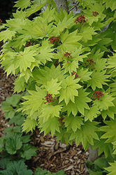 Golden Fullmoon Maple (Acer japonicum 'Aureum') at Flagg's Garden Center