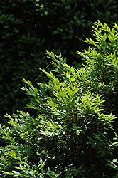 Belleville Boxwood (Buxus sempervirens 'Belleville') at A Very Successful Garden Center