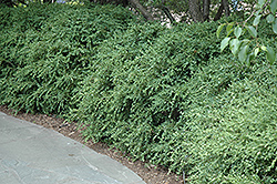 Wintergreen Boxwood (Buxus microphylla 'Wintergreen') at Bachman's Landscaping